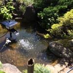 30歳のコイが住む庭池の清掃、ポンプの交換