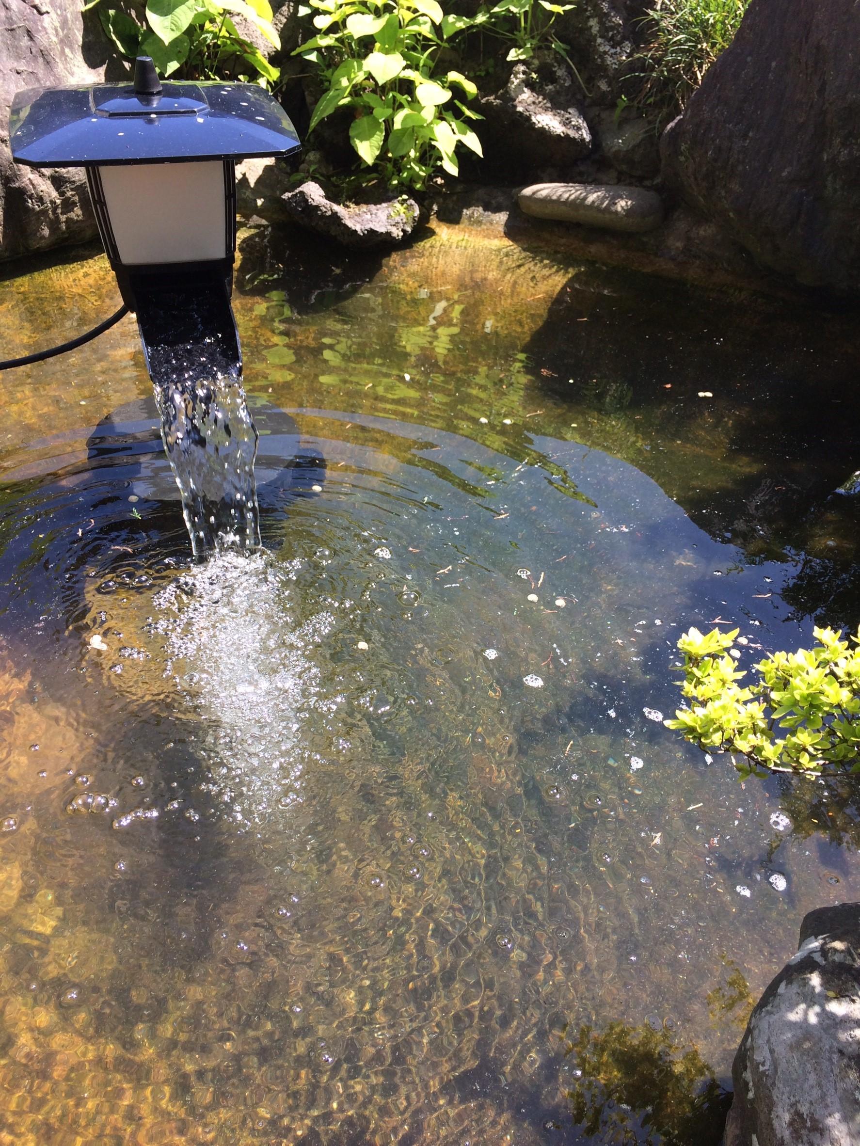 庭池 清掃 鯉 ダイスケ・ハナコ_7334